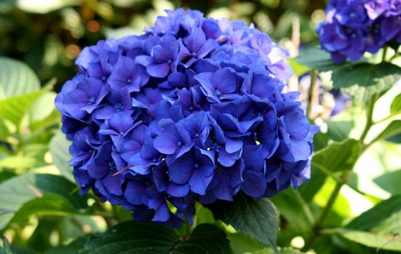 hydrangea flower arrangments in dark purple color