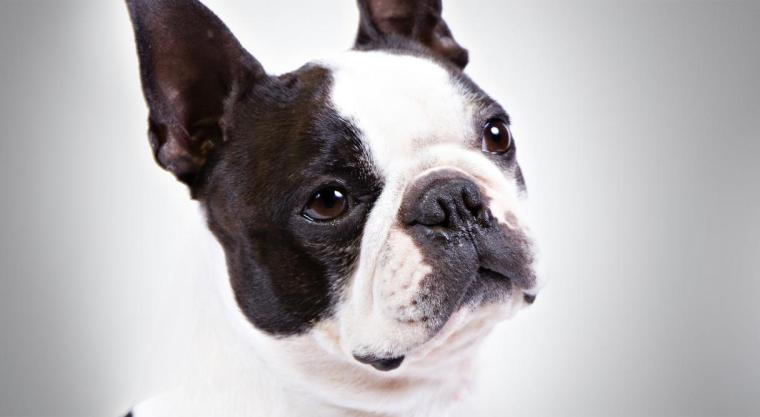 BostonTerrier_hero_-_Copy